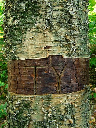 girdled birch