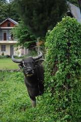 Buffalo by Ben Peters