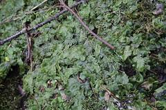 Snake Liverwort - a whole patch of it