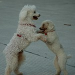 "Puppy Waltz <a style=""margin-left:10px; font-size:0.8em;"" href=""http://www.flickr.com/photos/36521966868@N01/2369594035/"" target=""_blank"">@flickr</a>"