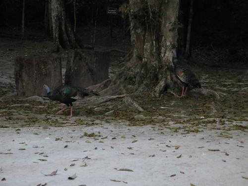 Ocellated Turkeys at Tikal