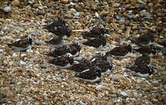 turnstones_purplesand_pier_20050505_01.JPG