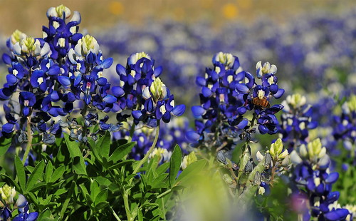 bluebonnets with bee