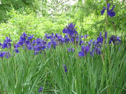 Irises, Smithsonian Institution