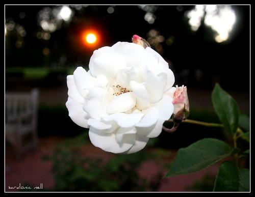 White Floribunda Rose