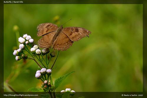 Butterfly | Nandi Hills