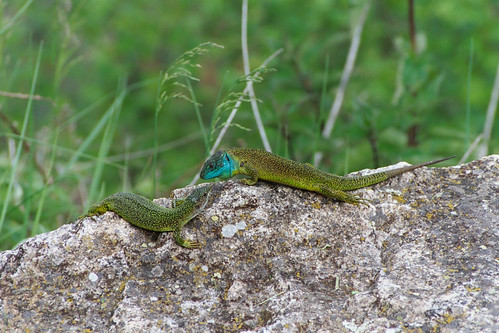 Green Lizards in the Loire valley
