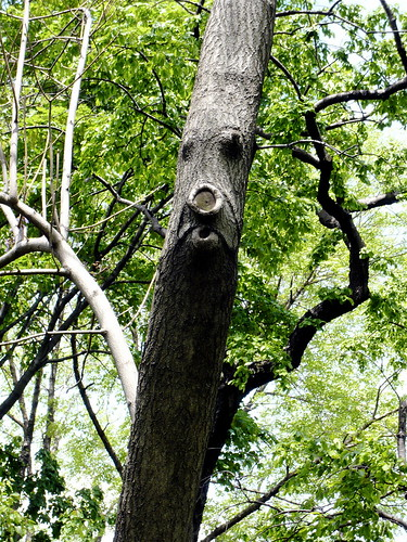 Tree Ent in Central Park