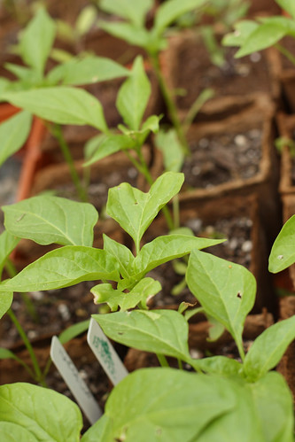 Pepper Seedlings on May 16