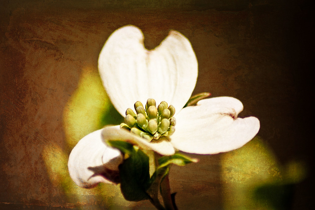Single dogwood blossom with texture small