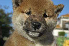 Baby Shiba inu 柴犬