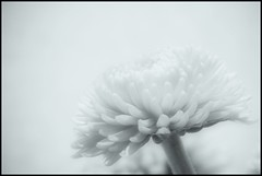 Winter Bloom by warryronin