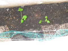 Baby Zucchini/Courgette Plants