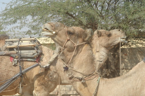 Jaipur路上1-34當地以駱駝為主要運輸的工具