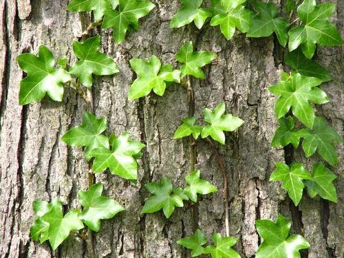 More Good Ivy