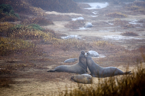 Two Elephant Seal Bulls Fighting