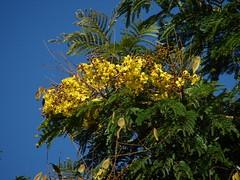 Yellow flowering Caesalpinioideae (Peltophorum)