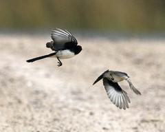 Restless Flycatcher (Myiagra inquieta)