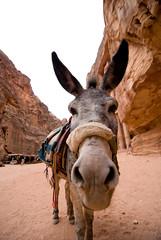 Donkey in Petra, Jordan