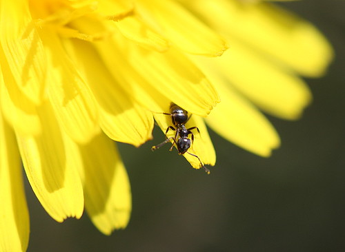 Ant on dandelion
