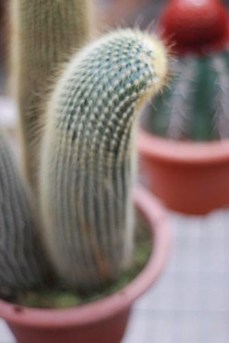 Phallic Cactus