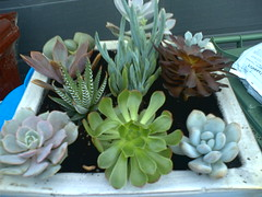 Ten Succulents in a Pot