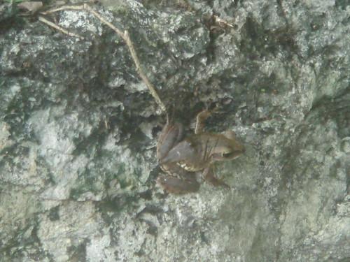 褐樹蛙13