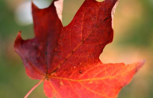 Favorite Fall Leaf