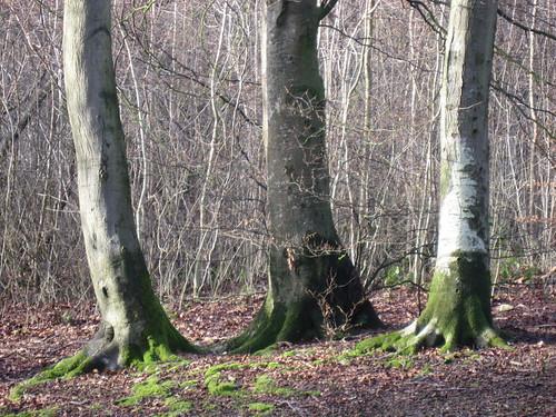 Thee beech trees, Crickley Hill, Jan 08