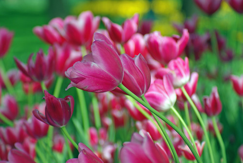 red tulips, istanbul tulip festival, istanbul, pentax k10d