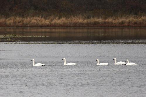 2007_11_07 Swans Tundra 4x6