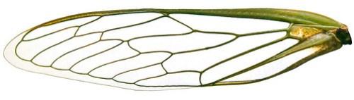 Cicada wing macro