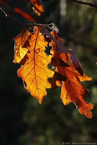 Poesia famosa autunno lanostracommedia for Alberi simili alle querce