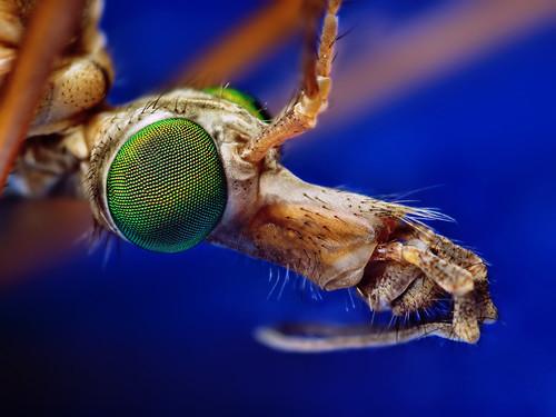 Crane Fly - (Tipula)
