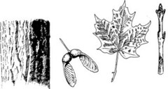 Sugar Maple Diagram from Mass Maple Website