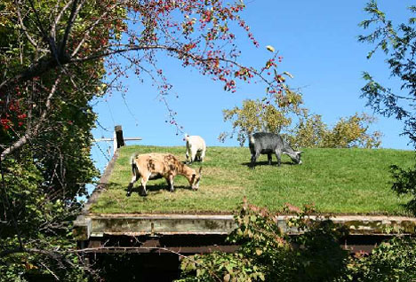 Goats on a Green Roof