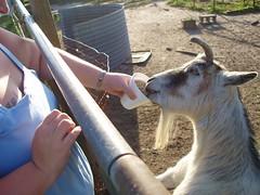 Michele Feeding the Goat