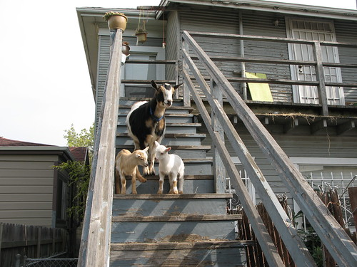 Bilbo and the baby goats sunning on the steps