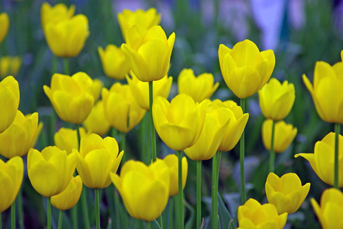 yellow tulips, istanbul tulip festival, pentax k10d