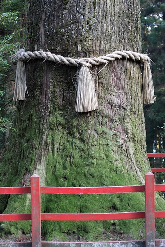 Shimenawa on Tree at Hakone Shrine