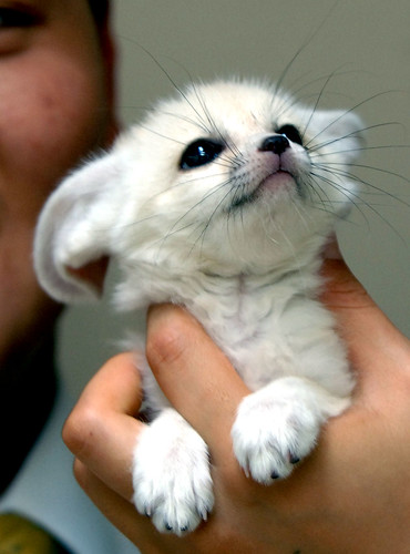 Fennec Fox Kit