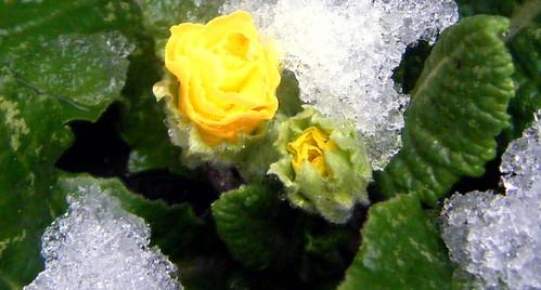 Primrose in Snow