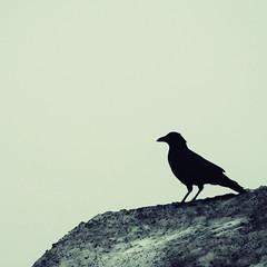 Bird, black