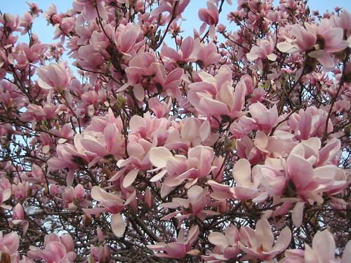 Magnolia through the skylight (by RPOP)