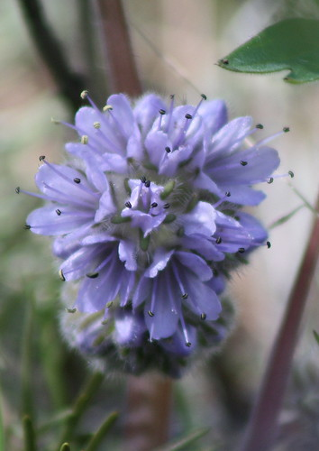 ballhead waterleaf