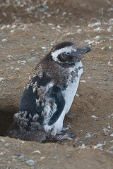 Molting Penguin