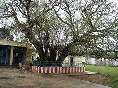 The sacred 2500 years old Eranzhil Tree