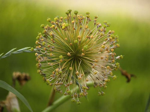 Allium After Flowering