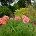 Oriental poppies, Gladiola communis, Nectaroscordum siculum