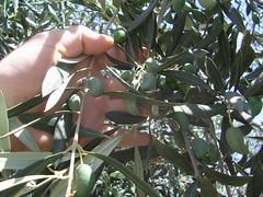 Ma mimine aux doigts boudinés dans une oliveraie